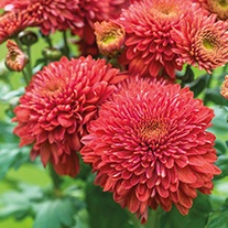 Chrysanthemum 'Gompie Red' (Late)