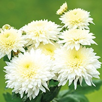 Chrysanthemum 'Gompie White' (Late)