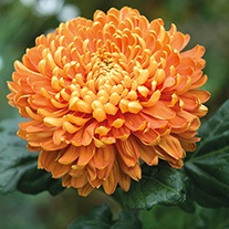 Chrysanthemum 'Astro Bronze' (Early)