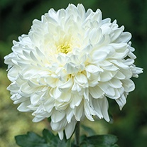 Chrysanthemum Ja Dank (Late)