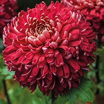 Chrysanthemum 'Regal Mist Red' (Early)