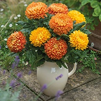 Chrysanthemum Astro Collection