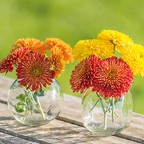Chrysanthemum Littleton Collection