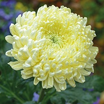 Chrysanthemum 'Creamist White' (Late)