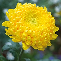 Chrysanthemum 'Creamist Golden' (Late)