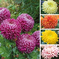 Chrysanthemum Broadway Collection