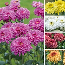 Chrysanthemum Beppie Collection