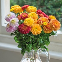 Chrysanthemum Pompon Collection