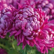 Chrysanthemum 'Alfredo Mauve' (Late)