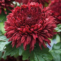 Chrysanthemum Jalta Red (Late)
