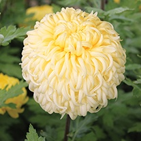 Chrysanthemum 'Dorridge Crystal'