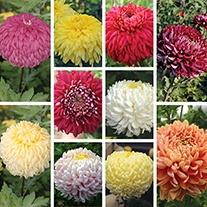 Chrysanthemum Dartmoor & Exmoor Collection (Early)