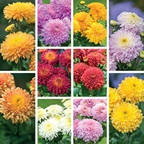 Chrysanthemum Pompon and Quantock Collection