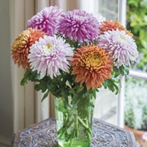 Chrysanthemum Pandion Collection