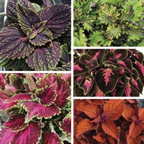 Coleus Main Street Collection