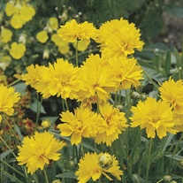 Coreopsis Early Sunrise AGM