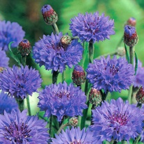 Cornflower Blue Ball