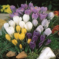 Crocus Species Mixed Corms