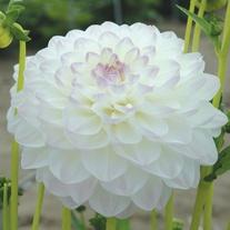 Dahlia Eveline Plants