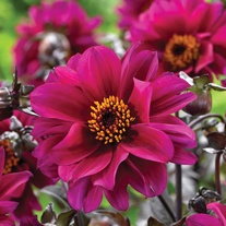 Dahlia Bishop of Canterbury Plants
