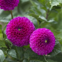 Dahlia Addison June tuber