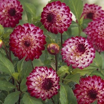 Dahlia 'Little Robert'