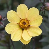 Dahlia Bishop Of York tuber