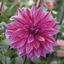 Dahlia 'Babylon Lilac Gevlamd'
