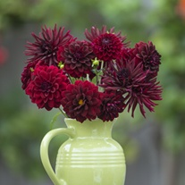 Dahlia Velvet Night Collection