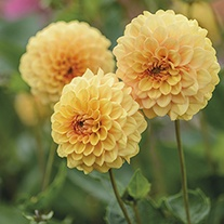 Dahlia Graceland tuber