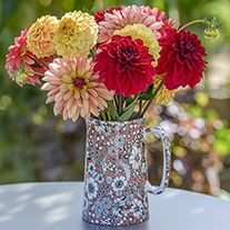Dahlia Carousel Collection