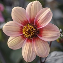 Dahlia Happy Single Kiss Tuber