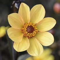 Dahlia Happy Single Party Tuber