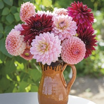 The Blackberry Swirl Dahlia Collection