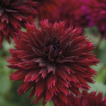 Dahlia Black Touch tubers