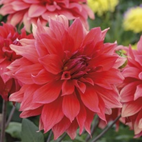 Dahlia Babylon Red tubers