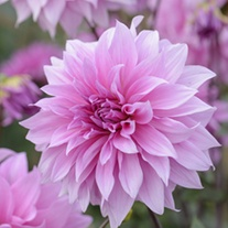Dahlia Babylon Lilac