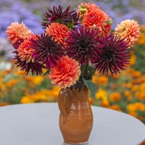 Dahlia Chocolate Orange Collection