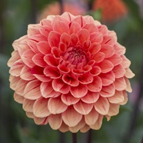 Dahlia Orange Cap Plants
