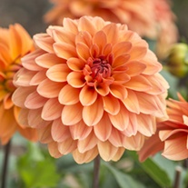 Dahlia Summer Flame Plants