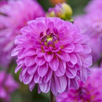 Dahlia Sweet Lady Plants