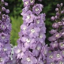 Delphinium Centurion Lavender