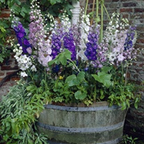 Delphinium Magic Fountains Mixed F1