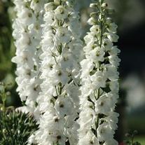 Delphinium Aurora White