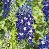 Delphinium Magic Fountains Dark Blue/White Bee