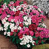 Dianthus Festival Mixed F1