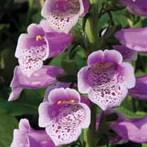 Digitalis Dalmatian Rose