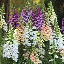 Digitalis Dalmatian Mixed F1