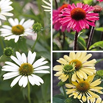Echinacea Collection Potted Plants