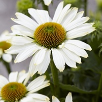 Echinacea Innocent Meadow Mama
